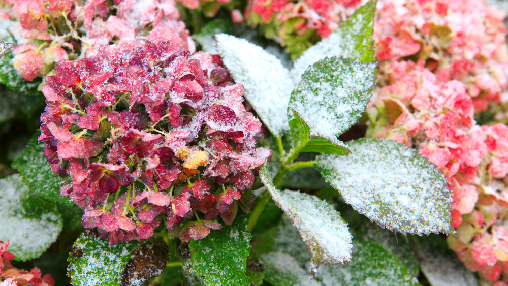 Hydrangea-winter-care-goodgardn