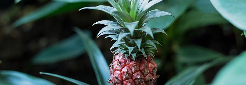 Verzorgen ananasplant - Goodgardn.nl