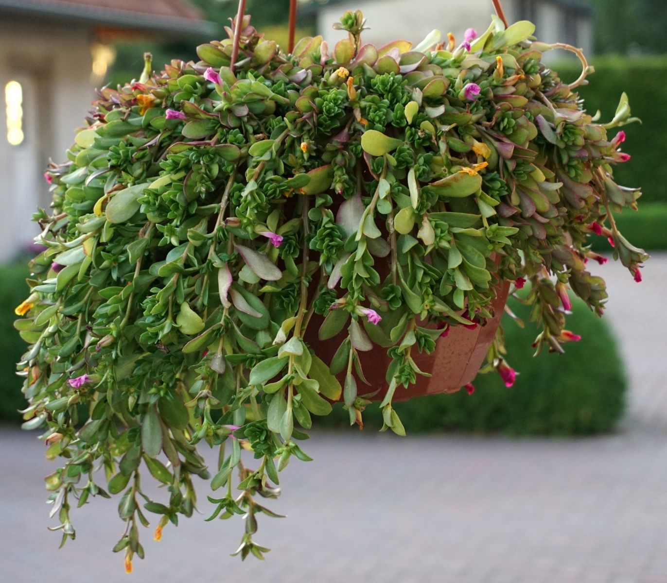 bushy trailing plant with flowers
