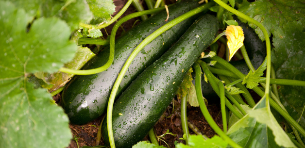 How-To-Grow-Courgettes-UK